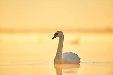 Mute swan (Cygnus olor) swimming on donau river at sunrise, Bavaria, Germany, Europe