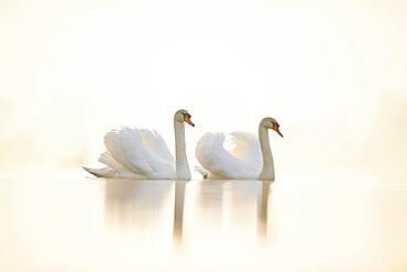 Mute swans (Cygnus olor), two, swimming, Donau river, Upper Palatinate, Bavaria, Germany, Europe
