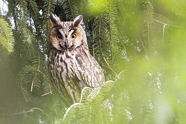 Long-eared owl (Asio otus), sitting on spruce branch, animal portrait, Hesse, Germany, Europe