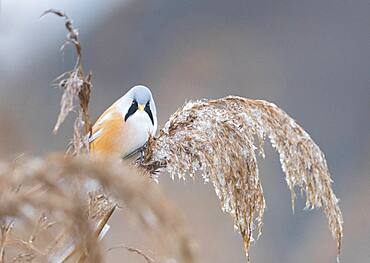 Bearded reedling (Panurus biarmicus), male climbing in reeds (Phragmites australis), Federsee lake, Baden-Wuerttemberg, Germany, Europe