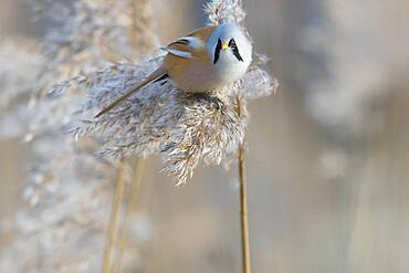 Bearded reedling (Panurus biarmicus), male foraging in reeds (Phragmites australis) climbing, eating reed seeds, Duemmmersee, Duemmer See, Duemmer, Lower Saxony, Germany, Europe