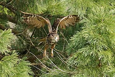 Eurasian eagle-owl (Bubo bubo) flying, wildlife, Black Forest, Baden-Wuerttemberg, Germany, Europe