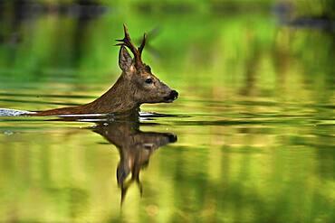 European roe deer (Capreolus capreolus) Crossing a river, morning, swimming, Luebars, Germany, Europe