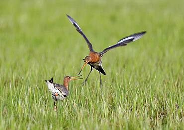 Fighting black-tailed godwits (Limosa limosa) in a meadow at Lake Duemmer, Germany, Europe