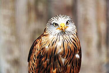 Red kite (Milvus milvus), animal portrait, captive, Germany, Europe