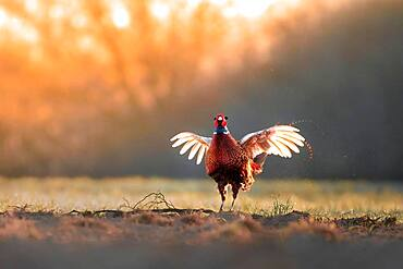 Pheasant (Phasianus colchicus), calling male, courtship, flapping wings, fluttering, Blankenfelde, Germany, Europe