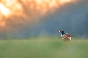 Pheasant (Phasianus colchicus), male sitting in the meadow, sunrise, Blankenfelde, Germany, Europe