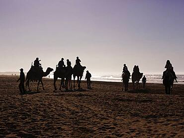 Tourists on camels on the beach, silhouettes against the light, Essaouira, Morocco, Africa
