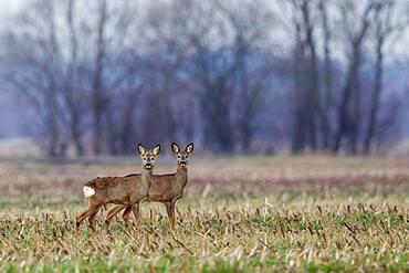 Two roe deer (Capreolus capreolus) in a meadow, Hesse, Germany, Europe