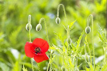 Poppy flower (Papaver rhoeas), Hesse, Germany, Europe
