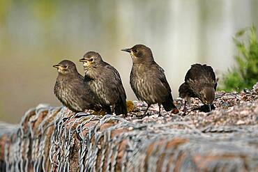 Starling (Sturnus vulgaris) young birds on a wall, Germany, Europe