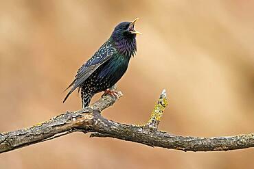 Starling (Sturnus vulgaris) singing on a branch, Germany, Europe