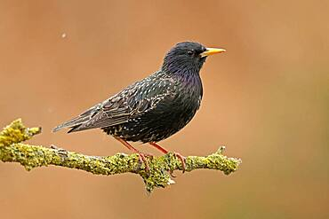 Starling (Sturnus vulgaris) sitting on a branch, Germany, Europe