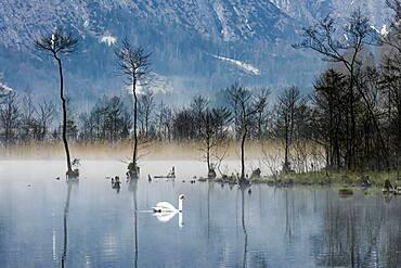 Mute swan (Cygnus olor) swimming in the morning atmosphere at Almsee, Panorama, Totes Gebirge, Almtal, Upper Austria, Austria, Europe