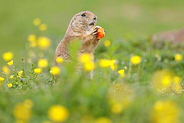 Black-tailed Prairie Dog (Cynomys ludovicianus) in a flowering meadow, Germany, Europe