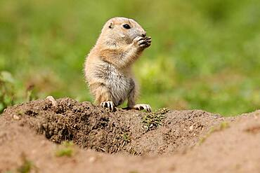 Black-tailed Prairie Dog (Cynomys ludovicianus) Young on burrow, Germany, Europe