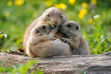 Black-tailed Prairie Dog (Cynomys ludovicianus) young with adult at burrow, Germany, Europe