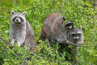 Raccoons (Procyon lotor) climbing a tree, Germany, Europe