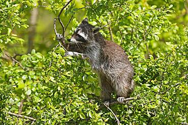 Raccoon (Procyon lotor) climbing a tree, Germany, Europe
