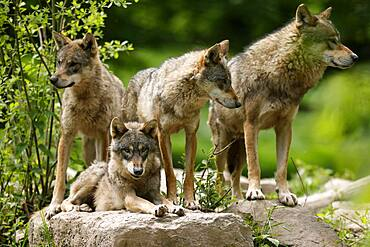 European wolves (Canis lupus) standing on rocks, Germany, Europe