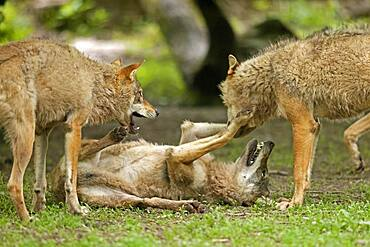 European wolves (Canis lupus) at play, Germany, Europe