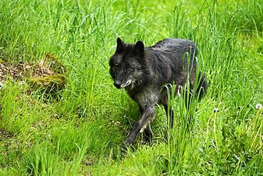Timberwolf, American wolf (Canis lupus occidentalis), captive, walking, Germany, Europe