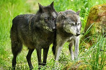 Timberwolf, American wolf (Canis lupus occidentalis), captive, two adults, Germany, Europe