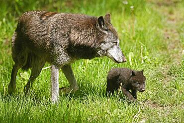 Timberwolf, American wolf (Canis lupus occidentalis), captive, pups with adult at den, Germany, Europe