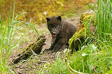 Timberwolf, American wolf (Canis lupus occidentalis), captive, pup at den, Germany, Europe