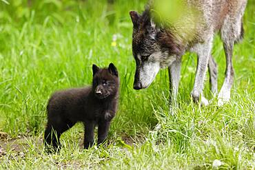 Timberwolf, American wolf (Canis lupus occidentalis), captive, pups with adult, Germany, Europe