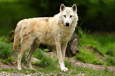 Timberwolf, American wolf (Canis lupus occidentalis), captive, animal portrait, Germany, Europe