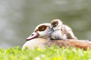 Egyptian goose (Alopochen aegyptiacus), adult bird with chicks, Hesse, Germany, Europe