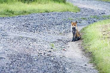 Red fox (Vulpes vulpes), sitting by the wayside Hesse, Germany, Europe
