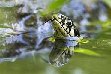 Grass snake (Natrix natrix), tonguing, animal portrait, Hesse, Germany, Europe