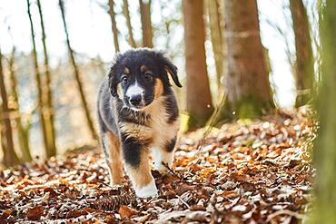 Mixed-bread dog (Australien Shepherd and Golden Retriever), Bavaria, Germany, Europe