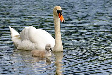 Mute swans (Cygnus olor) Old bird with chicks, Schleswig-Holstein, Germany, Europe