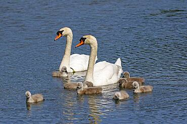 Mute swans (Cygnus olor) Pair with eight chicks, Schleswig-Holstein, Germany, Europe