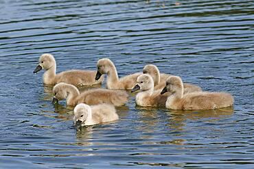 Mute swans (Cygnus olor) seven chicks, Schleswig-Holstein, Germany, Europe