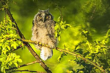 Long-eared owl (Asio otus), young bird, sitting on Bromberg branch, Hesse, Germany, Europe
