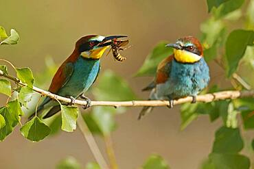 Bee-eater (Merops apiaster) sitting with insect on a branch, mating feeding, Rhineland-Palatinate, Germany, Europe