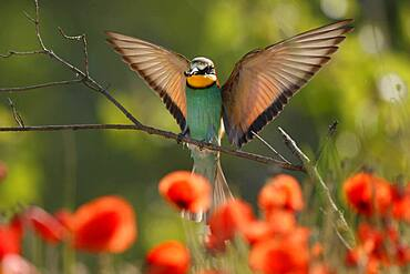 Bee-eater (Merops apiaster) flying on branch, Rhineland-Palatinate, Germany, Europe