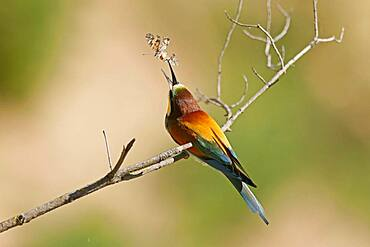 Bee-eater (Merops apiaster) sitting with insect on a branch, Rhineland-Palatinate, Germany, Europe