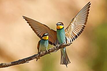 Bee-eater (Merops apiaster) sitting on a branch, mating feeding, Rhineland-Palatinate, Germany, Europe