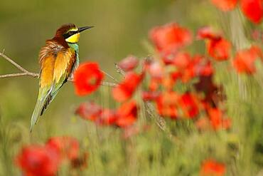 Bee-eater (Merops apiaster) sitting on a branch, Rhineland-Palatinate, Germany, Europe