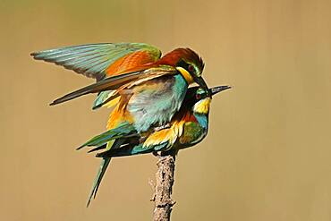 Bee-eater (Merops apiaster) mating on a branch, Rhineland-Palatinate, Germany, Europe