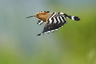 Hoopoe (Upupa epops) in flight with food, Rhineland-Palatinate, Germany, Europe
