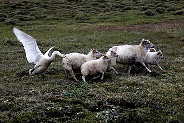 Swan (Cygnus) attacking sheep (Ovis), Karahnjukar, Highlands, Iceland, Europe