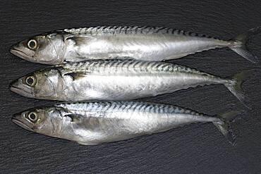 Three mackerel (Scomber scombrus), Germany, Europe