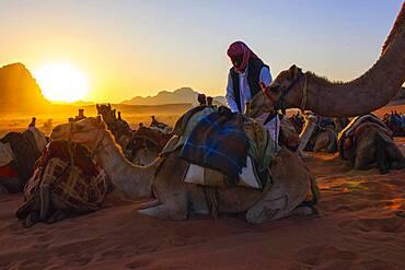 Bedouin in the desert caring for camels, sunset behind, Wadi Rum, Jordan, Asia