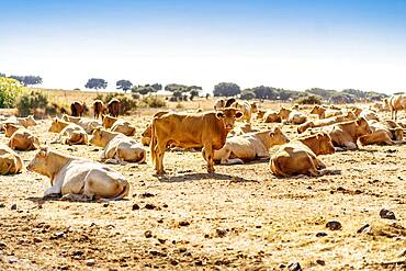 Herd of cattle on the farm in Alentejo during sunny day, Portugal, Europe